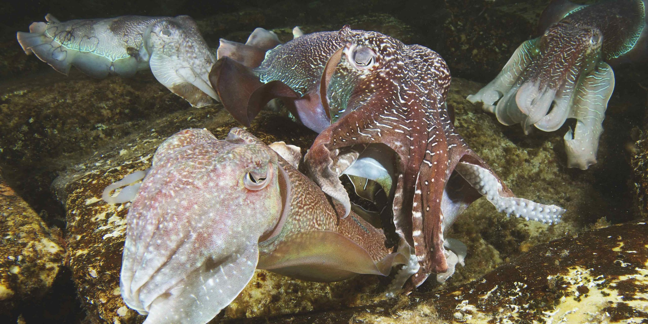 lots of cuttlefish